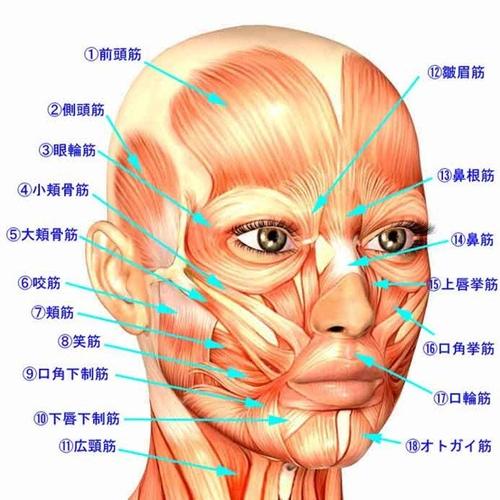 顔の筋肉の構造を表しています