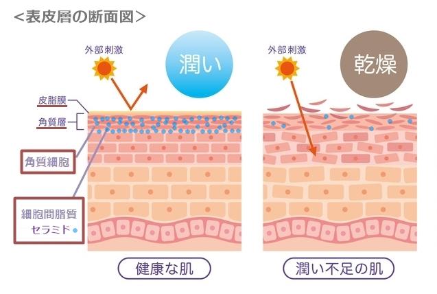 角質層を含む表皮層の断面図で、セラミドが皮膚全体にとって重要なバリア機能を果たすことを示しています