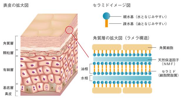 角質層のセラミドが作るラメラ構造を表しています