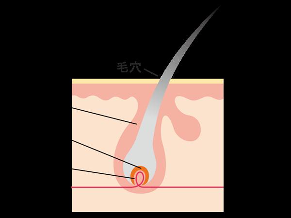 毛の組織の断面図