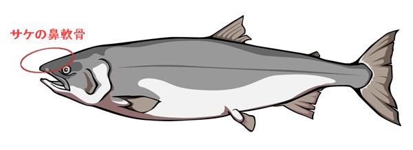 サケの鼻軟骨から採れるプリテオグリカン