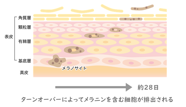 ターンオーバーによってメラニンを含む細胞が排出されてシミが消えるメカニズムを表しています