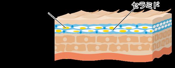 角質層の保湿成分 セラミドと天然保湿因子(NMF))